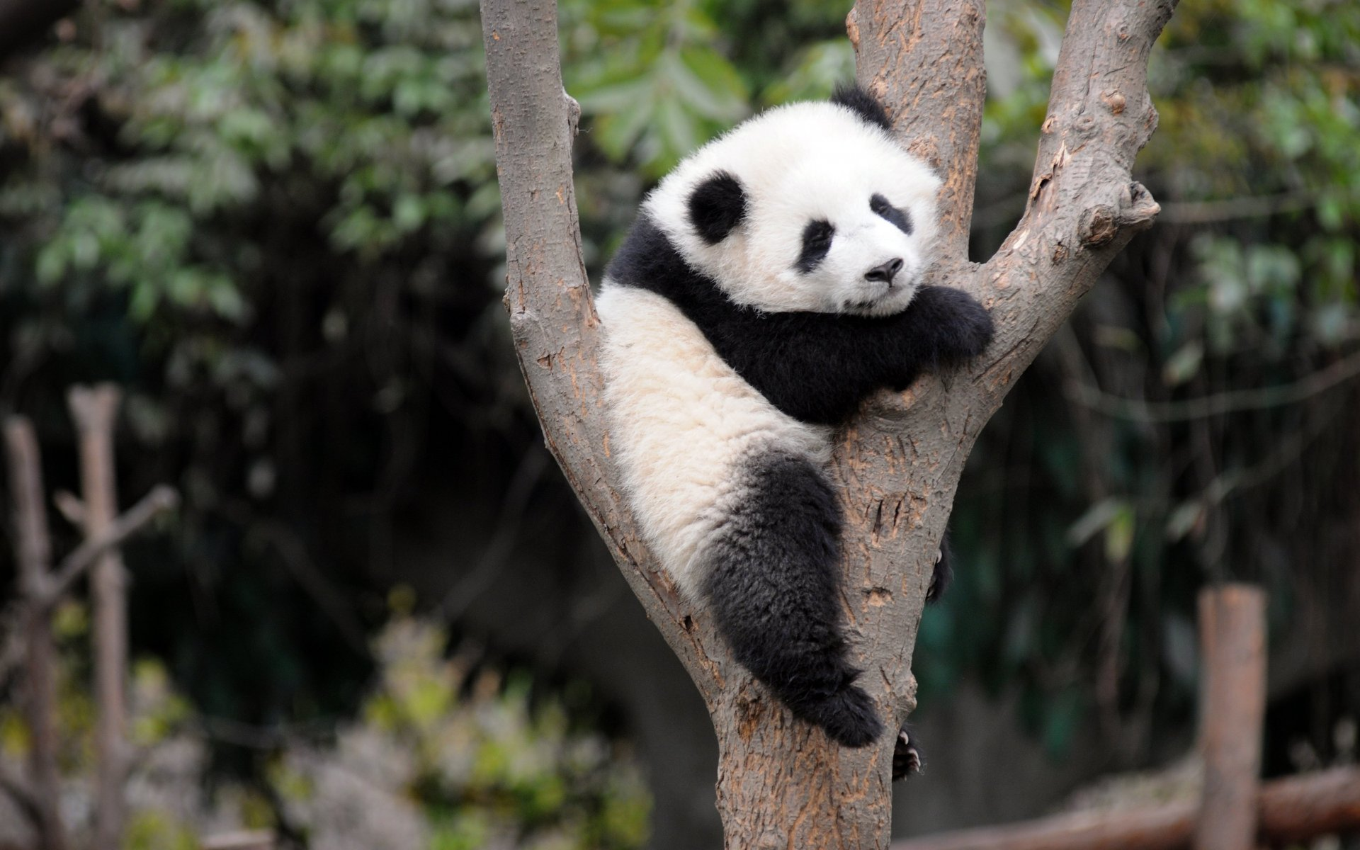 cute-giant-panda-playing-tree-panda-bear-animals-bamboo-china-1920x1200[1]